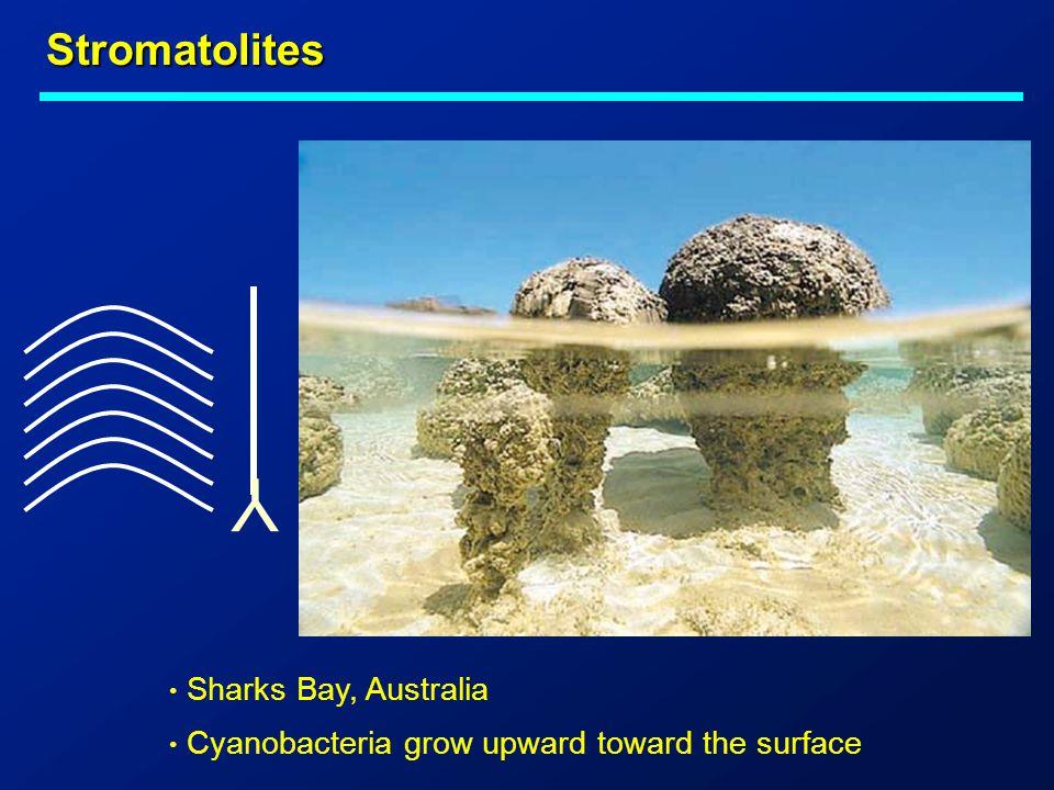 Stromatolites Sharks Bay, Australia Cyanobacteria grow upward toward the surface Y