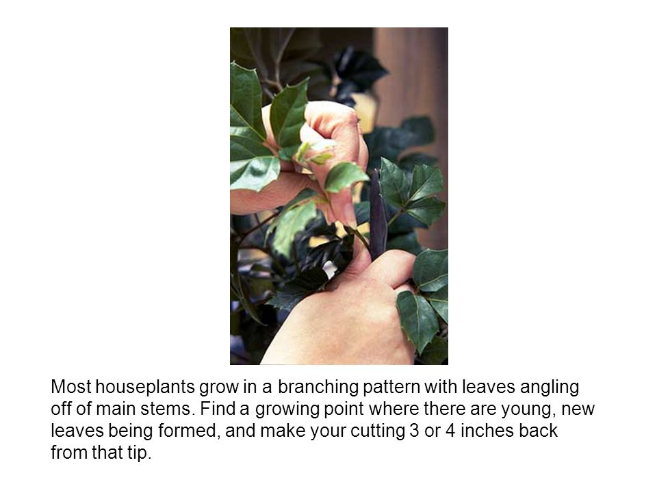 Most houseplants grow in a branching pattern with leaves angling off of main stems. Find a growing point where there are young, new leaves being forme