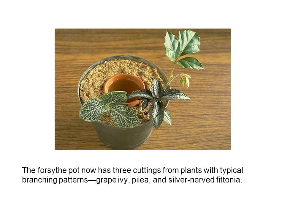 The forsythe pot now has three cuttings from plants with typical branching patterns—grape ivy, pilea, and silver-nerved fittonia.
