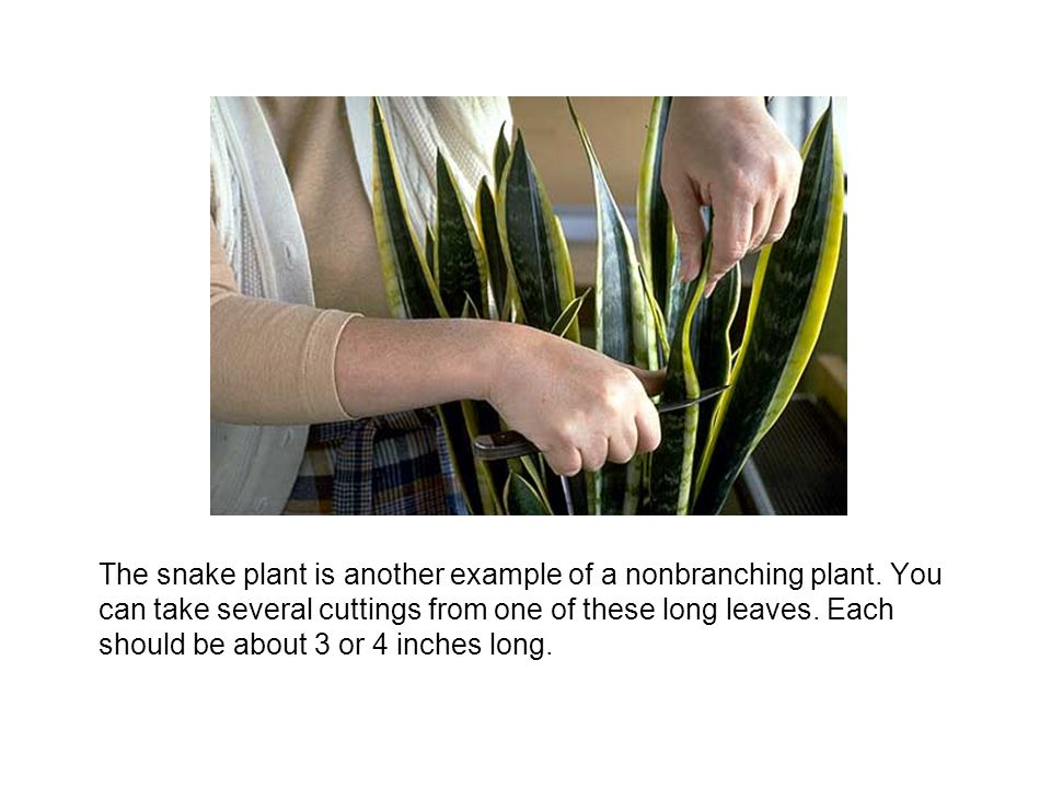 The snake plant is another example of a nonbranching plant. You can take several cuttings from one of these long leaves. Each should be about 3 or 4 i