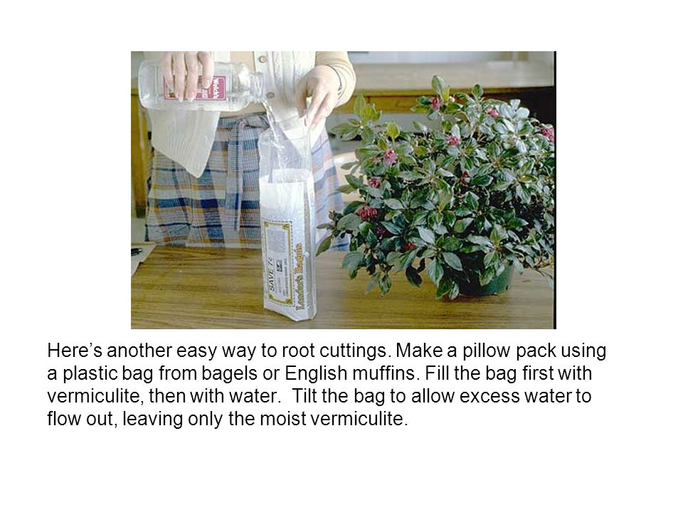 Here's another easy way to root cuttings. Make a pillow pack using a plastic bag from bagels or English muffins. Fill the bag first with vermiculite,