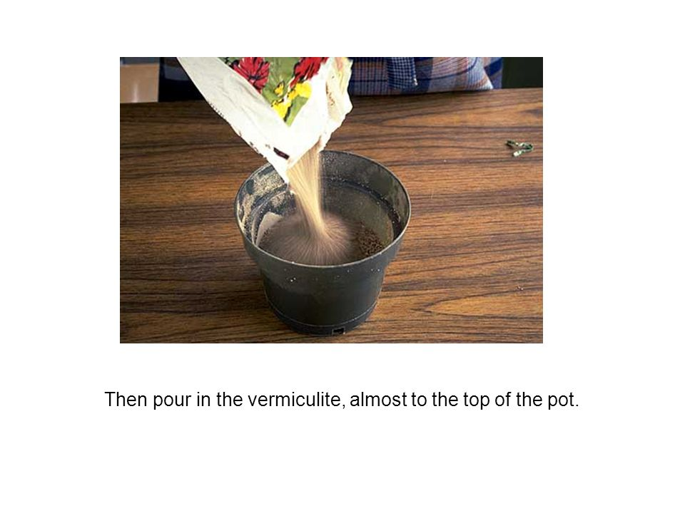 Then pour in the vermiculite, almost to the top of the pot.