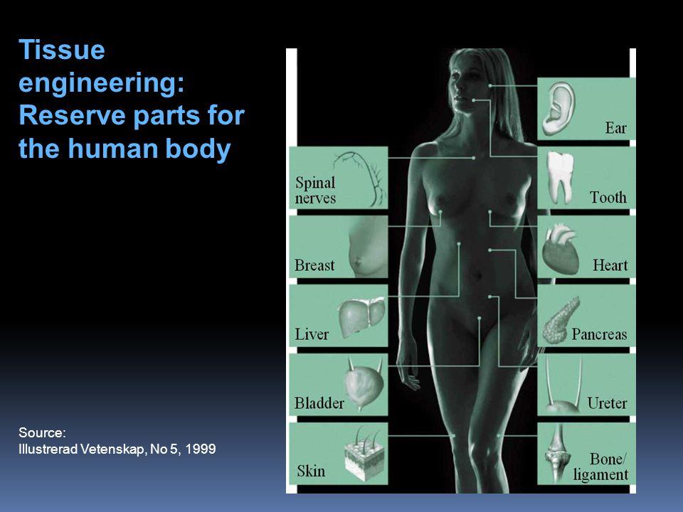 Source: Illustrerad Vetenskap, No 5, 1999 Tissue engineering: Reserve parts for the human body Skin