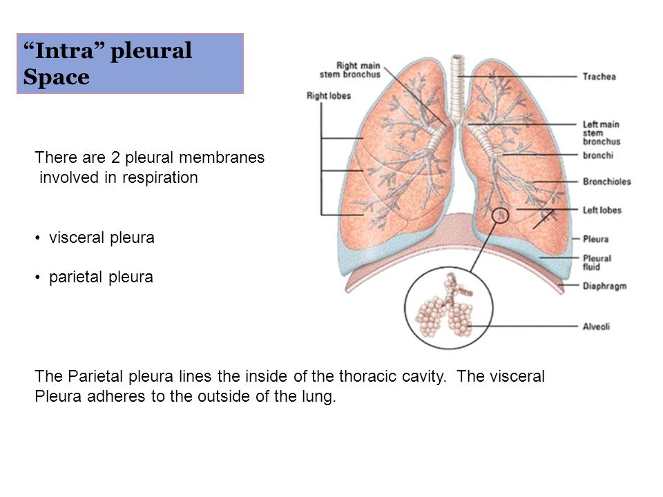 """""""Intra"""" pleural Space There are 2 pleural membranes involved in respiration visceral pleura parietal pleura The Parietal pleura lines the inside of th"""