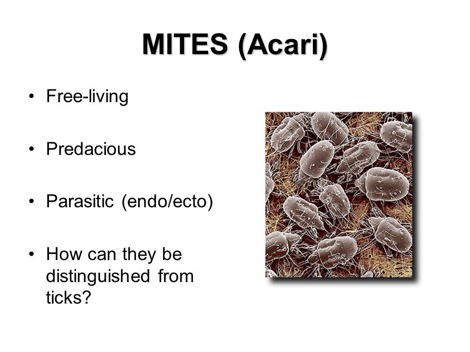 MITES (Acari) Free-living Predacious Parasitic (endo/ecto) How can they be distinguished from ticks?