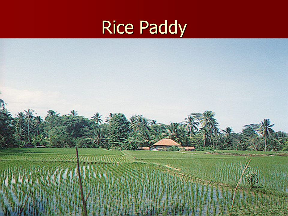Champa Rice From Southeast Asia, Indochina From Southeast Asia, Indochina Early ripening (more than one crop per growing season possible), highly nutr
