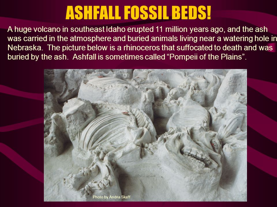 ASHFALL FOSSIL BEDS! A huge volcano in southeast Idaho erupted 11 million years ago, and the ash was carried in the atmosphere and buried animals livi