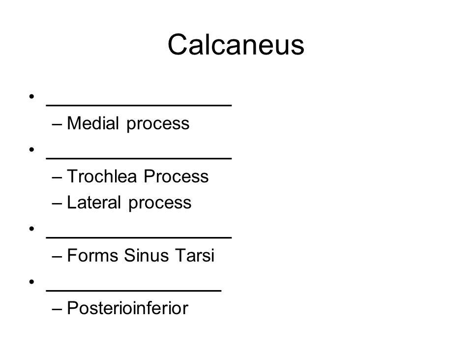 Calcaneus __________________ –Medial process __________________ –Trochlea Process –Lateral process __________________ –Forms Sinus Tarsi _________________ –Posterioinferior