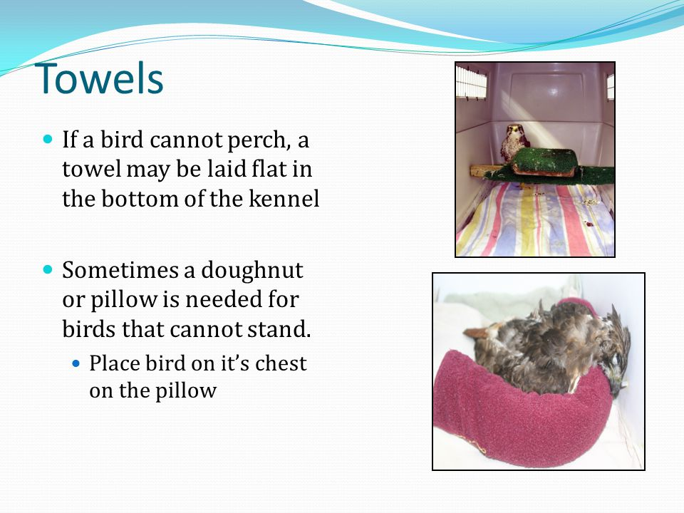Towels If a bird cannot perch, a towel may be laid flat in the bottom of the kennel Sometimes a doughnut or pillow is needed for birds that cannot stand.