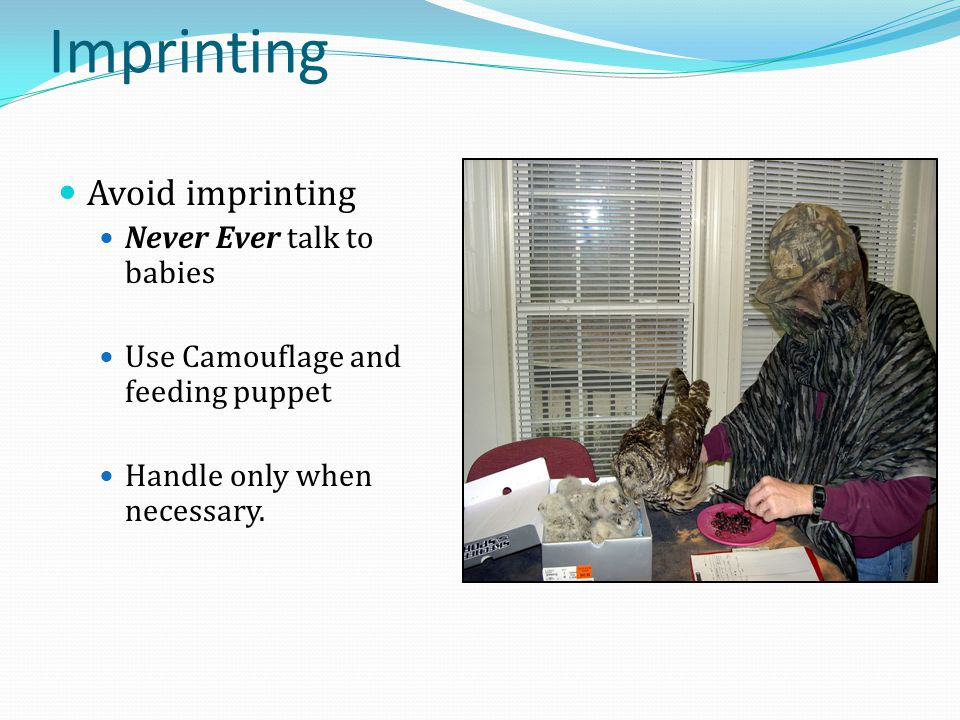 Imprinting Avoid imprinting Never Ever talk to babies Use Camouflage and feeding puppet Handle only when necessary.