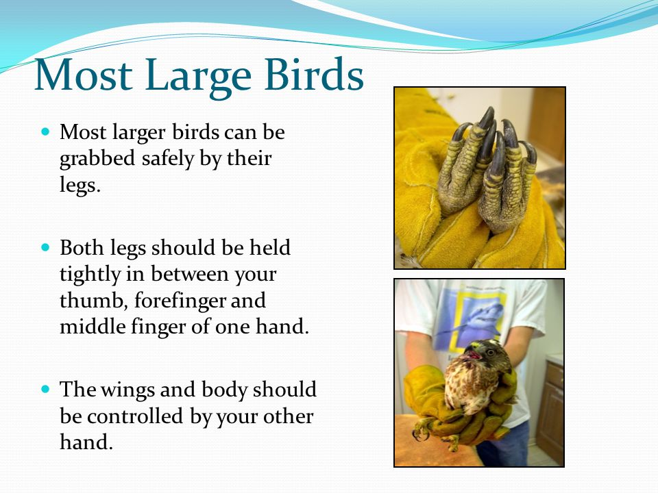 Most Large Birds Most larger birds can be grabbed safely by their legs.