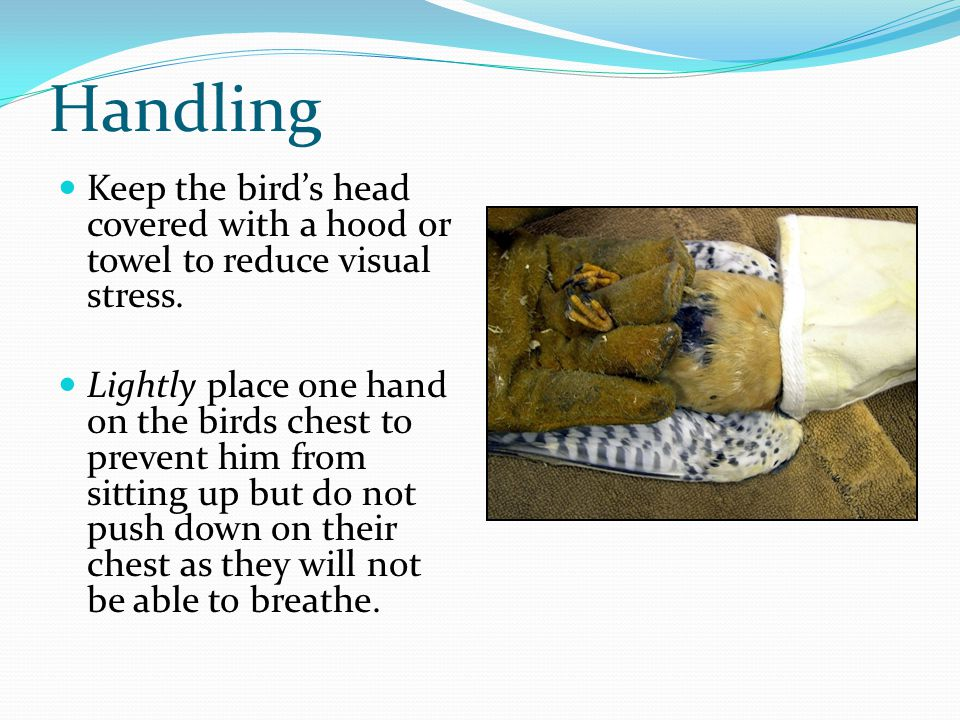 Handling Keep the bird's head covered with a hood or towel to reduce visual stress.