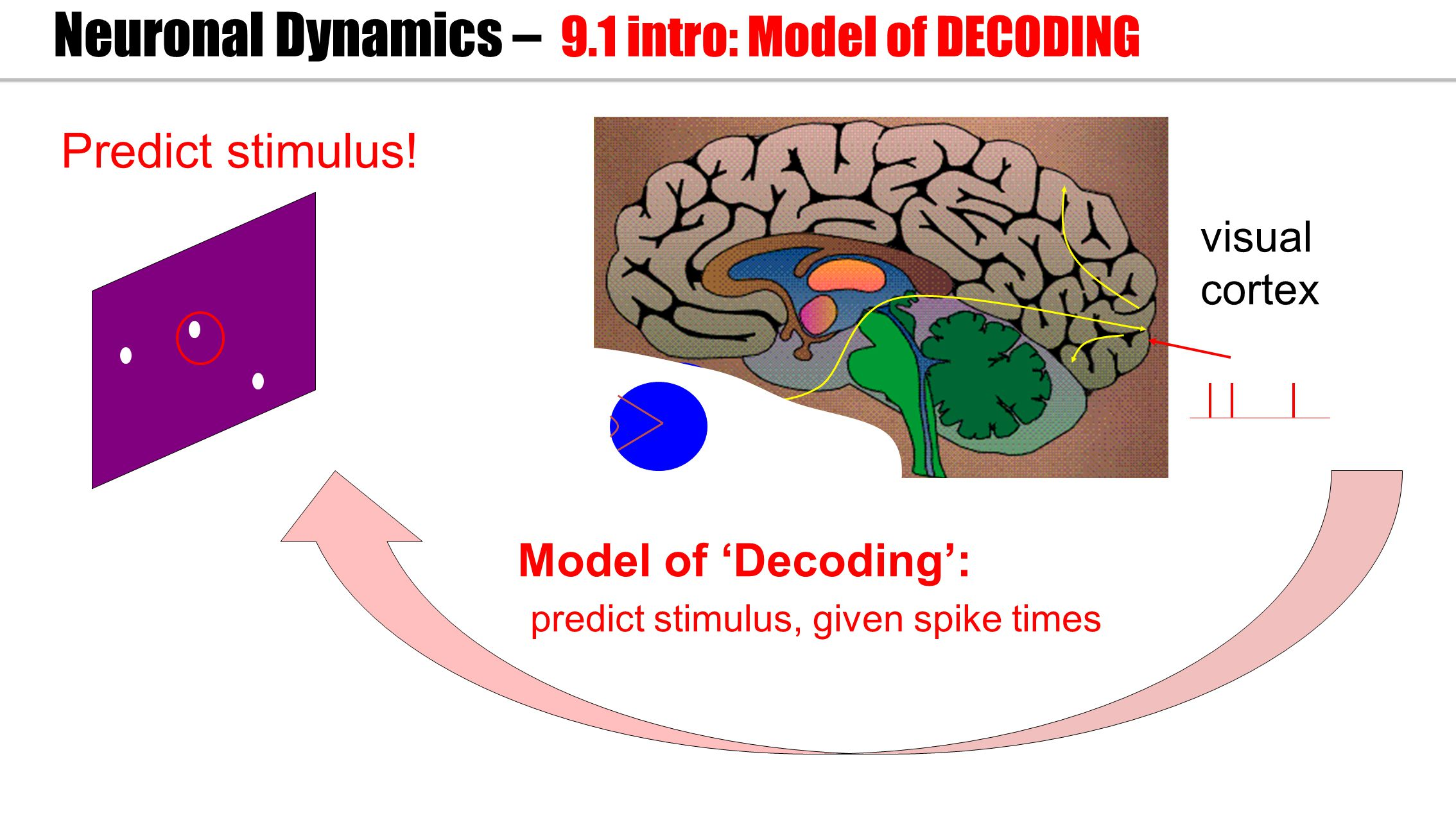 visual cortex Model of 'Decoding': predict stimulus, given spike times Neuronal Dynamics – 9.1 intro: Model of DECODING Predict stimulus!