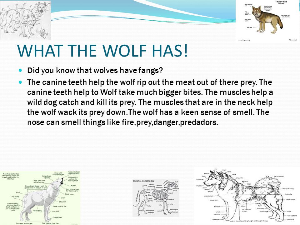 ! WHAT THE WOLF HAS! Did you know that wolves have fangs? The canine teeth help the wolf rip out the meat out of there prey. The canine teeth help to