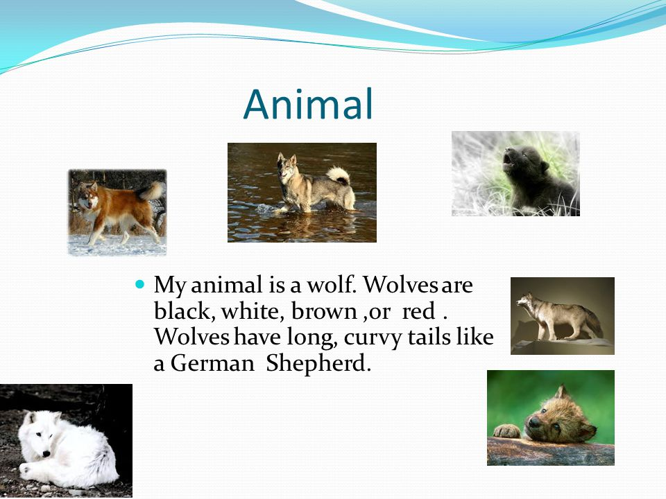 Animal My animal is a wolf. Wolves areblack, white, brown,or red.Wolves have long, curvy tails likea German Shepherd.