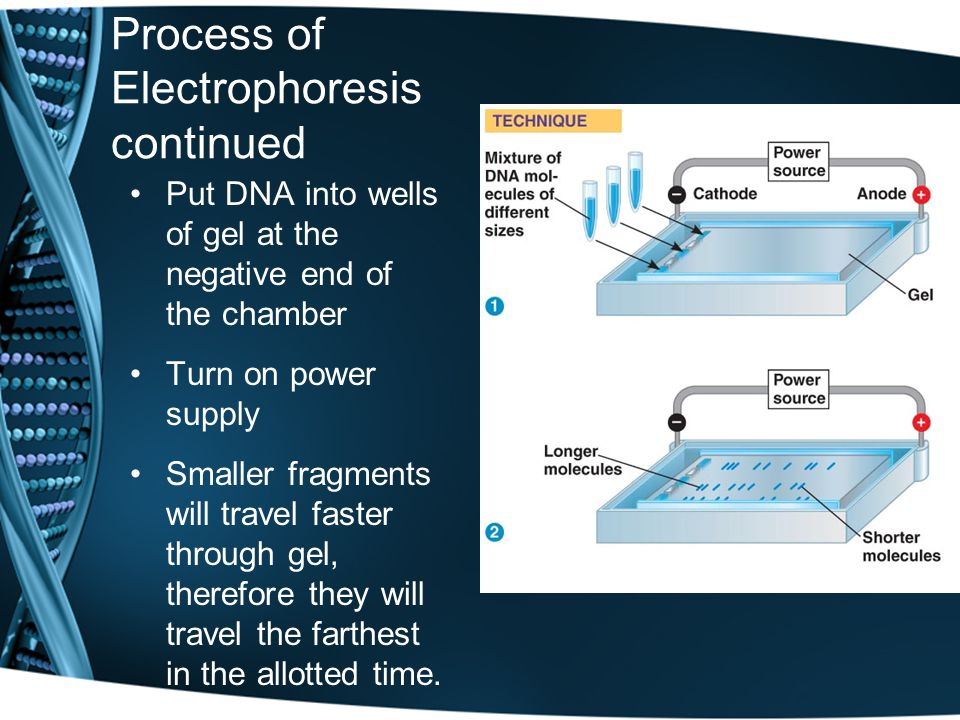 Process of Electrophoresis continued Put DNA into wells of gel at the negative end of the chamber Turn on power supply Smaller fragments will travel faster through gel, therefore they will travel the farthest in the allotted time.