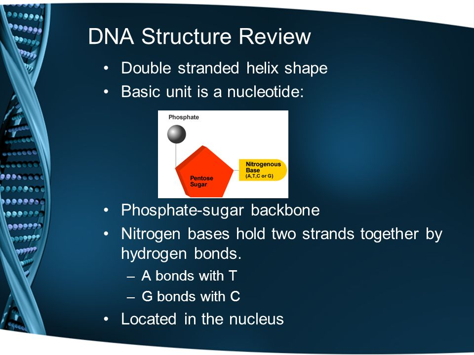 DNA Structure Review Double stranded helix shape Basic unit is a nucleotide: Phosphate-sugar backbone Nitrogen bases hold two strands together by hydrogen bonds.