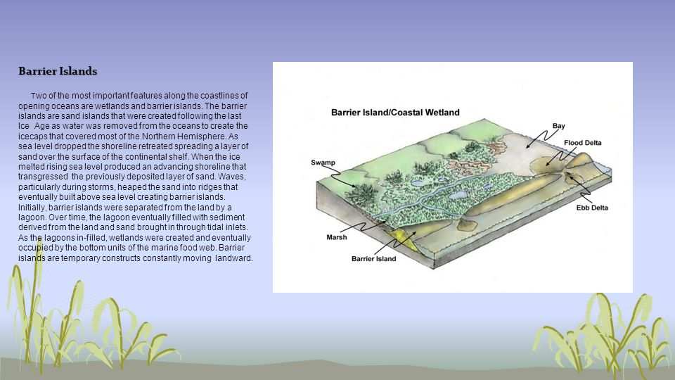 Barrier Islands T wo of the most important features along the coastlines of opening oceans are wetlands and barrier islands. The barrier islands are s