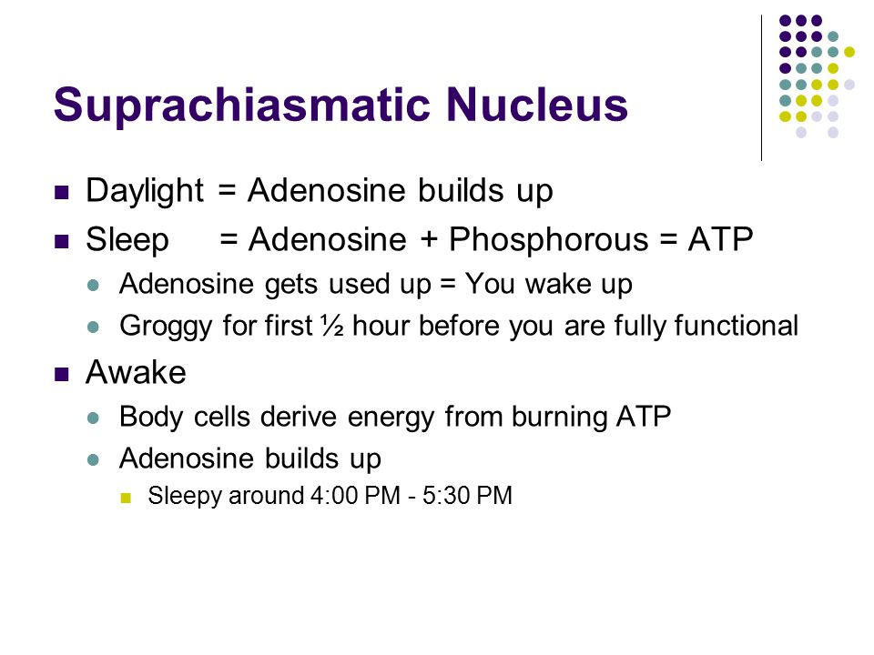 Daylight = Adenosine builds up Sleep = Adenosine + Phosphorous = ATP Adenosine gets used up = You wake up Groggy for first ½ hour before you are fully functional Awake Body cells derive energy from burning ATP Adenosine builds up Sleepy around 4:00 PM - 5:30 PM