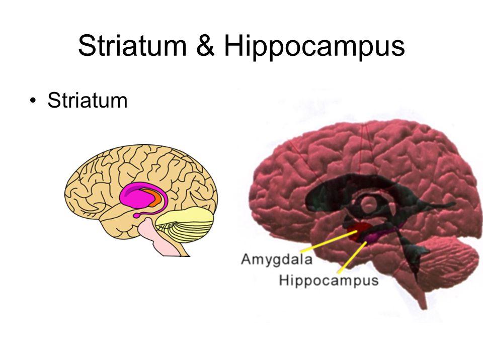 Striatum & Hippocampus Striatum