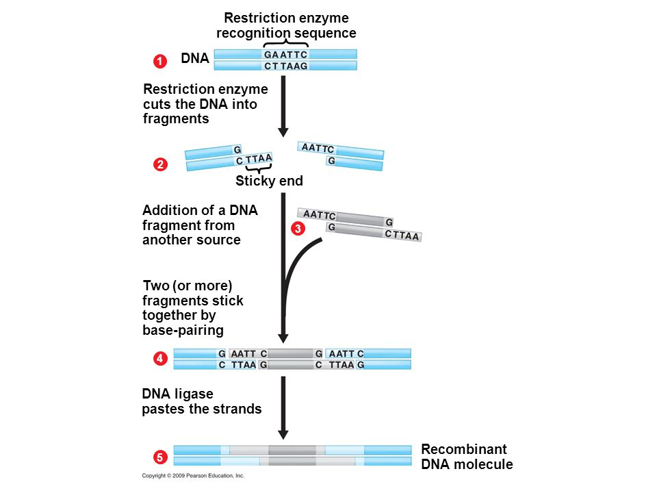 Restriction enzyme recognition sequence 1 2 DNA Restriction enzyme cuts the DNA into fragments Sticky end 3 Addition of a DNA fragment from another source 4 Two (or more) fragments stick together by base-pairing DNA ligase pastes the strands Recombinant DNA molecule 5