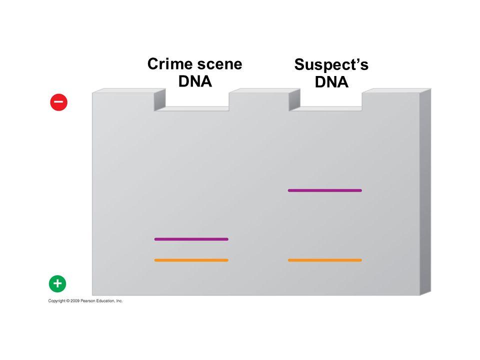 Crime scene DNA Suspect's DNA