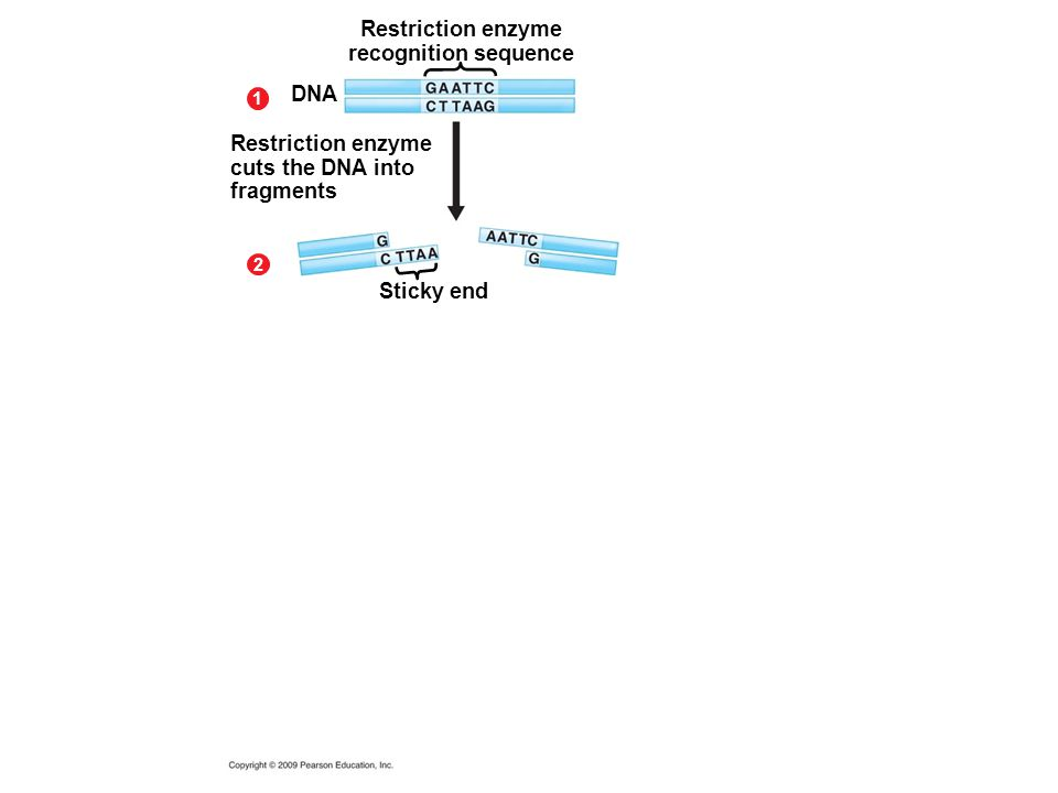 Restriction enzyme recognition sequence 1 2 DNA Restriction enzyme cuts the DNA into fragments Sticky end