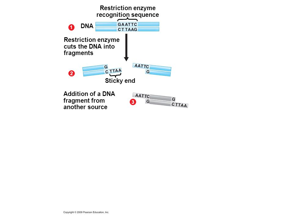 Restriction enzyme recognition sequence 1 2 DNA Restriction enzyme cuts the DNA into fragments Sticky end 3 Addition of a DNA fragment from another so