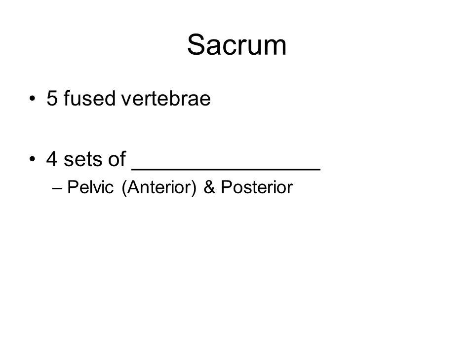 Sacrum 5 fused vertebrae 4 sets of ________________ –Pelvic (Anterior) & Posterior
