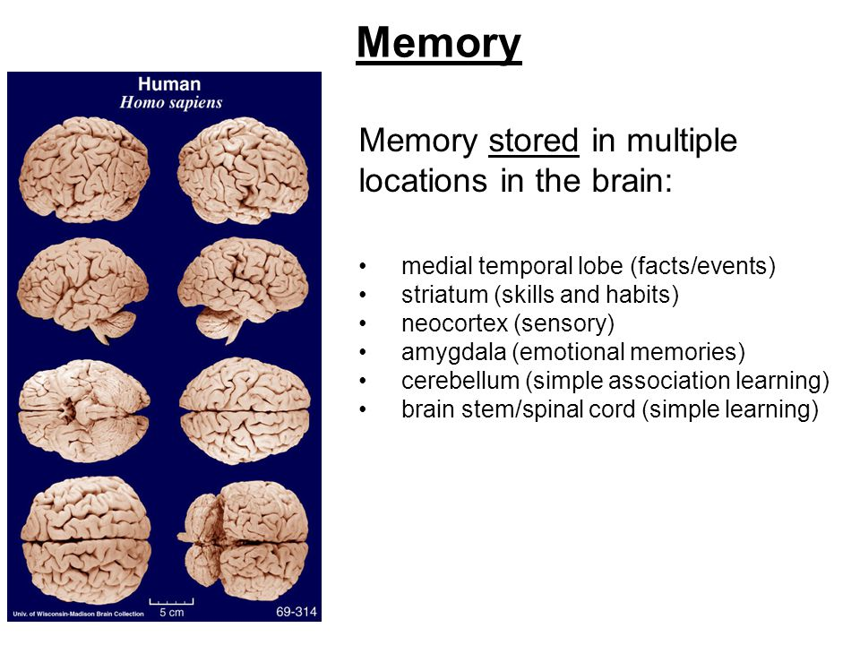 Memory Memory stored in multiple locations in the brain: medial temporal lobe (facts/events) striatum (skills and habits) neocortex (sensory) amygdala (emotional memories) cerebellum (simple association learning) brain stem/spinal cord (simple learning)