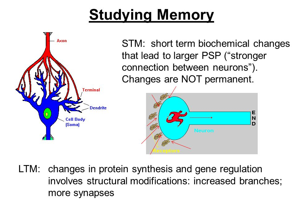 Studying Memory STM: short term biochemical changes that lead to larger PSP ( stronger connection between neurons ).