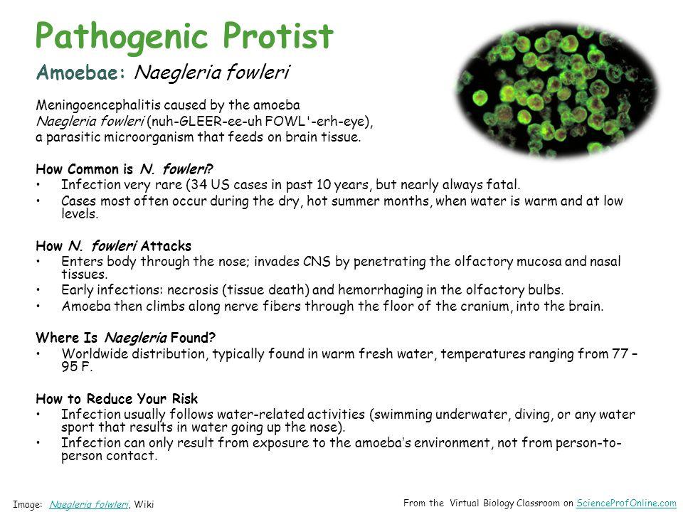 Amoebae: Naegleria fowleri Meningoencephalitis caused by the amoeba Naegleria fowleri (nuh-GLEER-ee-uh FOWL -erh-eye), a parasitic microorganism that feeds on brain tissue.