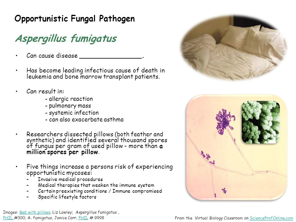 Opportunistic Fungal Pathogen Aspergillus fumigatus Can cause disease ________________. Has become leading infectious cause of death in leukemia and b