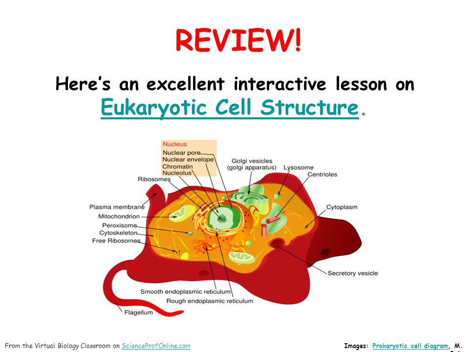REVIEW! Here's an excellent interactive lesson on Eukaryotic Cell StructureEukaryotic Cell Structure. Images: Prokaryotic cell diagram, M. RuizProkary