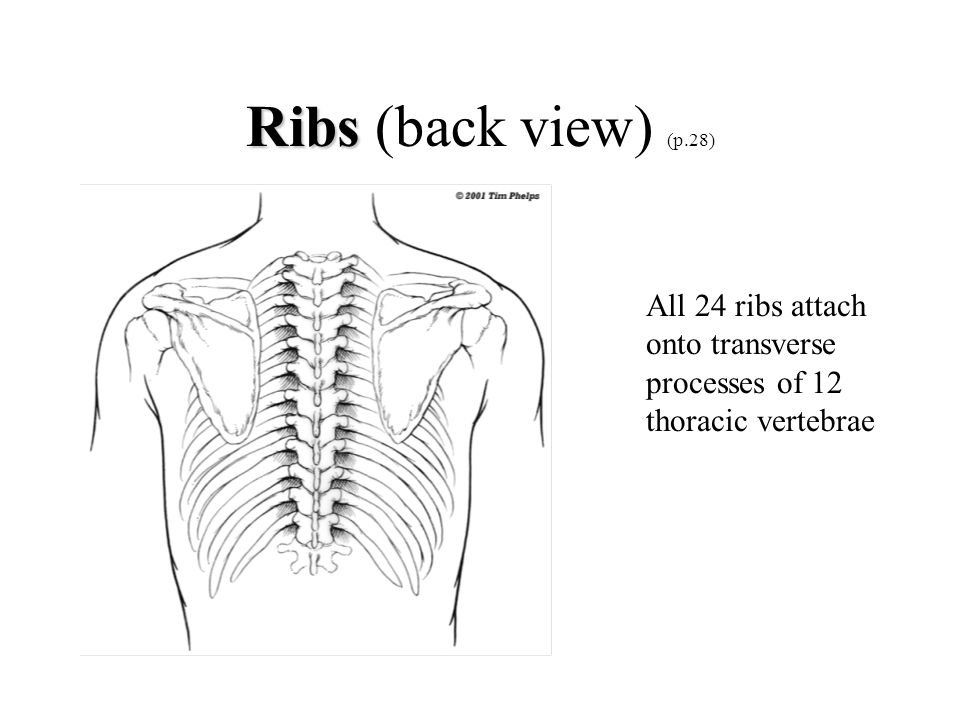 Ribs Ribs (back view) (p.28) All 24 ribs attach onto transverse processes of 12 thoracic vertebrae