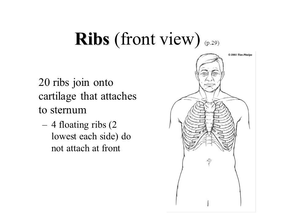 Ribs Ribs (front view) (p.29) 20 ribs join onto cartilage that attaches to sternum –4 floating ribs (2 lowest each side) do not attach at front