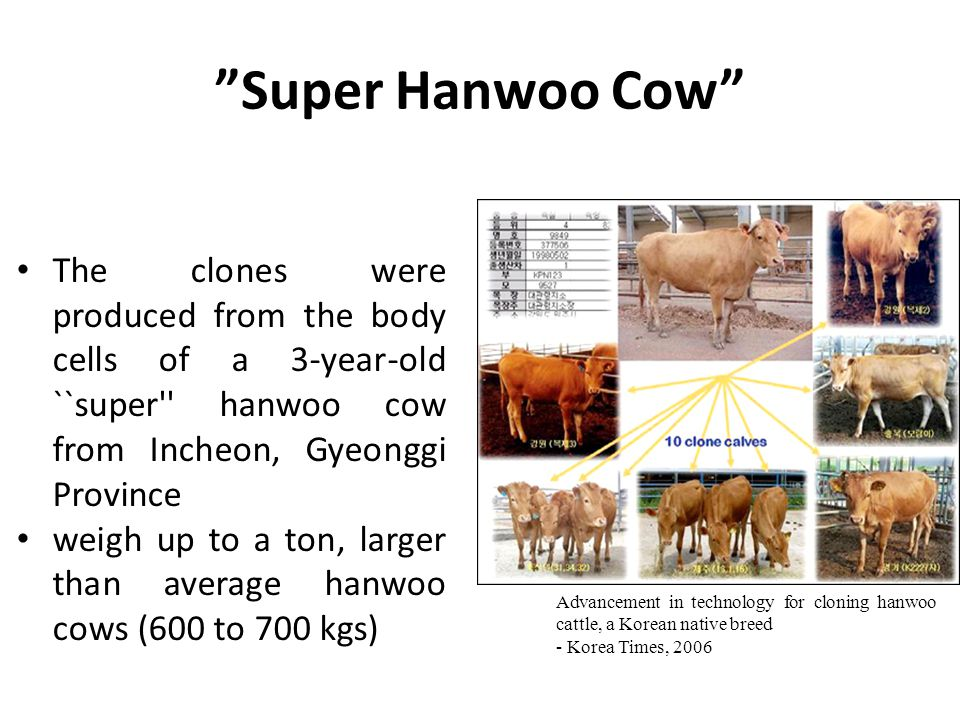 Super Hanwoo Cow The clones were produced from the body cells of a 3-year-old ``super hanwoo cow from Incheon, Gyeonggi Province weigh up to a ton, larger than average hanwoo cows (600 to 700 kgs) Advancement in technology for cloning hanwoo cattle, a Korean native breed - Korea Times, 2006