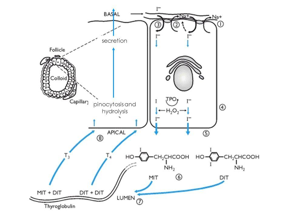 Thyroid hormone transport 99% protein- bound 1% free 15-20% albumin 10-15% transthyretin 70% TBG