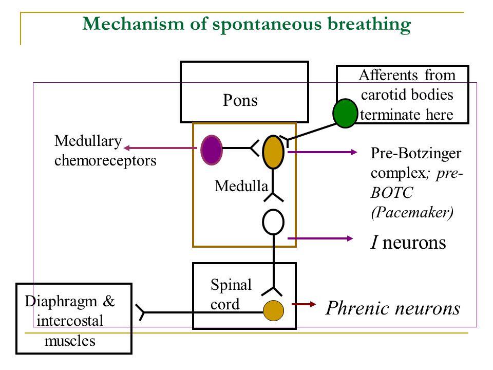 Mechanism of spontaneous breathing Pons Medulla Pre-Botzinger complex; pre- BOTC (Pacemaker) I neurons Phrenic neurons Diaphragm & intercostal muscles