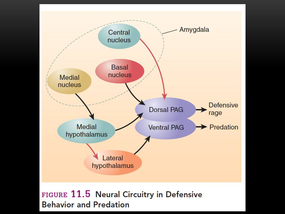 Fear 9 Research with Humans Role of Serotonin Several studies have found that serotonergic neurons play an inhibitory role in human aggression.