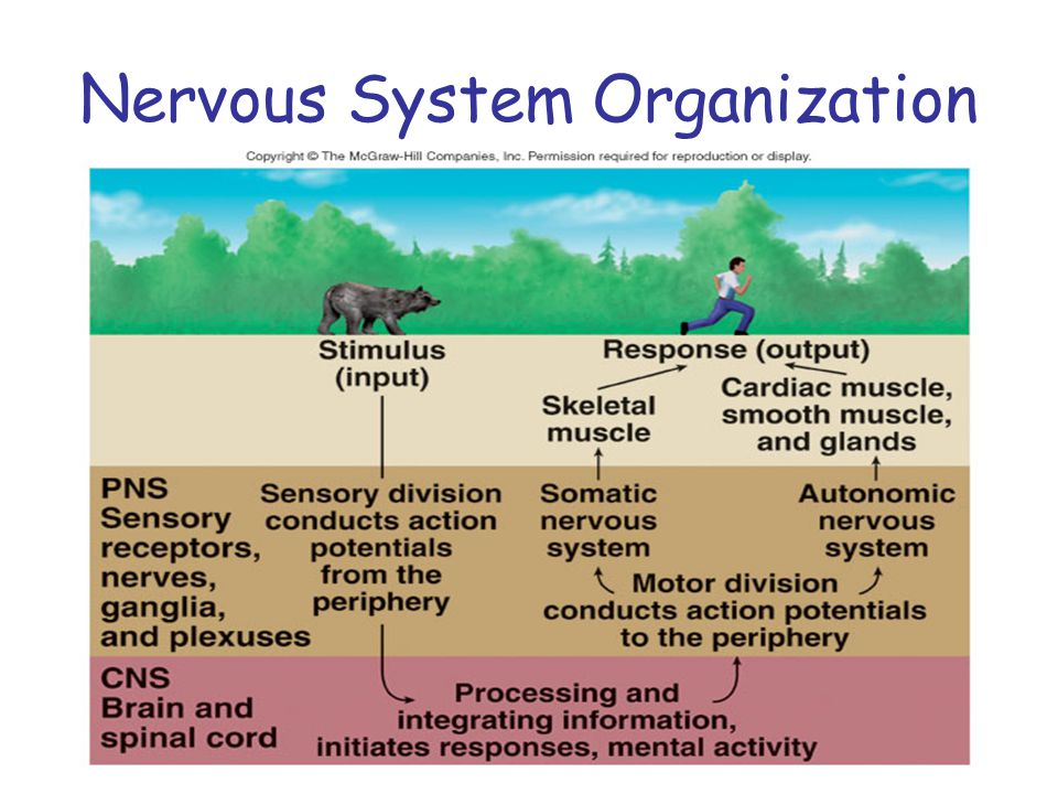 Cells of Nervous System Neurons or nerve cells –Receive stimuli and transmit action potentials (electrical current) Organization –Cell body or soma –Dendrites: input –Axons: output –Myelin or No myelin Glia cells ( 5 types) –Support, clean, provide nutrition and protect neurons Did you know.