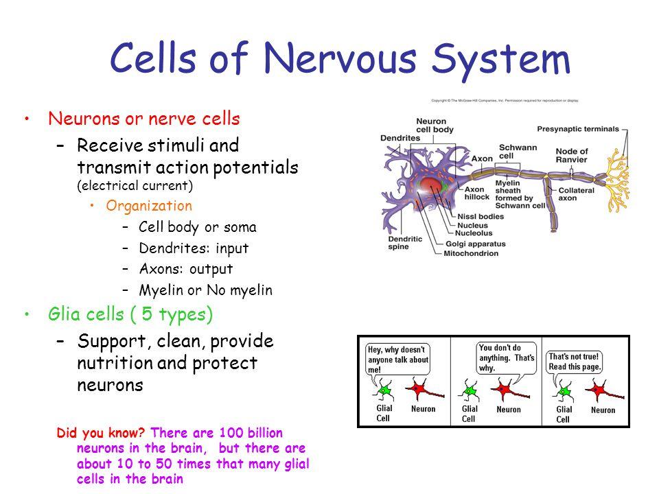 Forebrain: Hypothalamus Monitors...