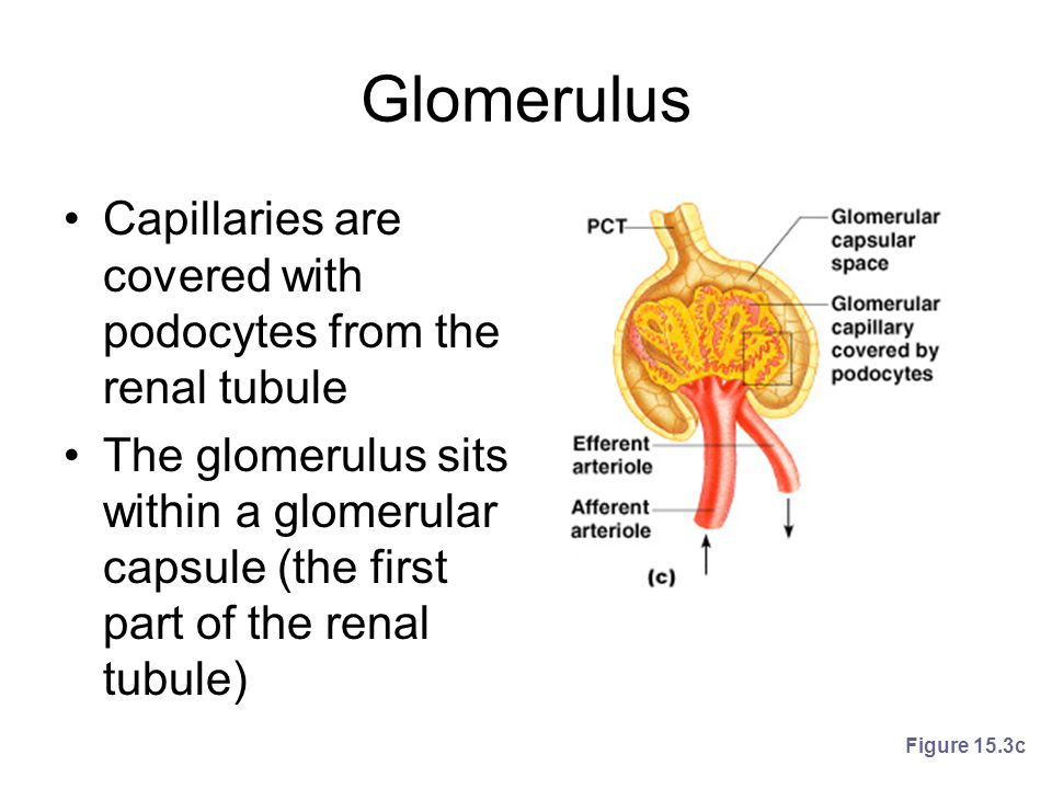 Glomerulus Capillaries are covered with podocytes from the renal tubule The glomerulus sits within a glomerular capsule (the first part of the renal t