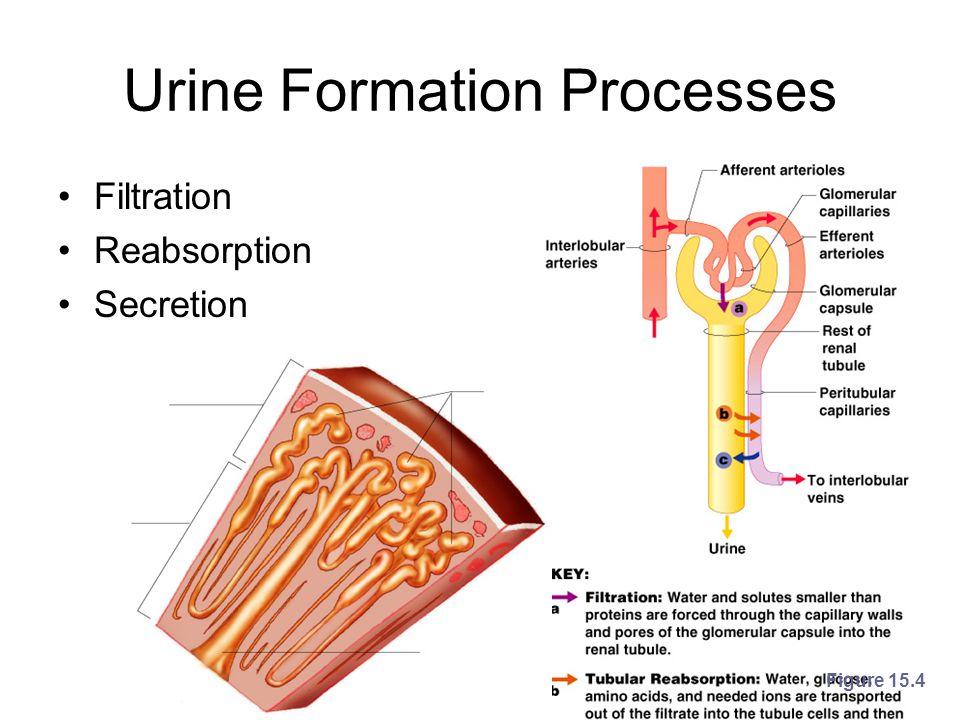 Urine Formation Processes Filtration Reabsorption Secretion Figure 15.4
