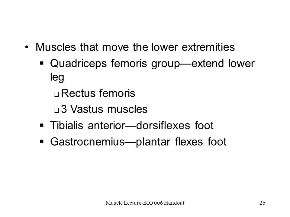 Muscle Lecture-BIO 006 Handout26 Muscles that move the lower extremities  Quadriceps femoris group—extend lower leg  Rectus femoris  3 Vastus muscles  Tibialis anterior—dorsiflexes foot  Gastrocnemius—plantar flexes foot