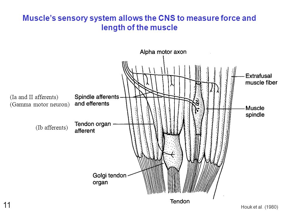 11 Muscle's sensory system allows the CNS to measure force and length of the muscle (Ib afferents) (Ia and II afferents) (Gamma motor neuron) Houk et