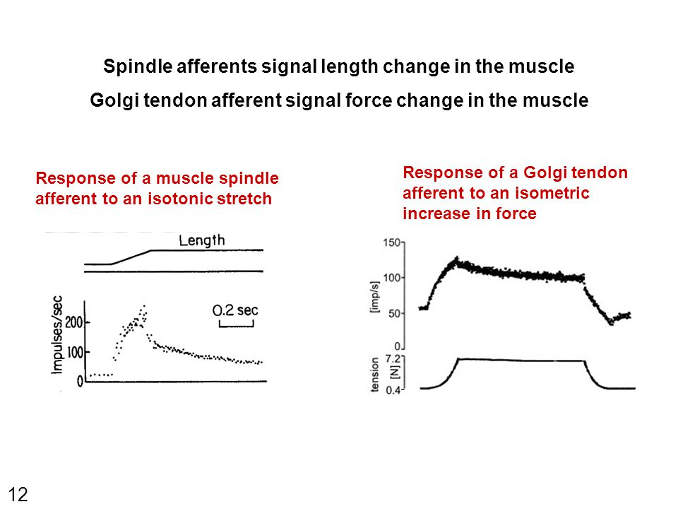 12 Response of a muscle spindle afferent to an isotonic stretch Response of a Golgi tendon afferent to an isometric increase in force Spindle afferents signal length change in the muscle Golgi tendon afferent signal force change in the muscle