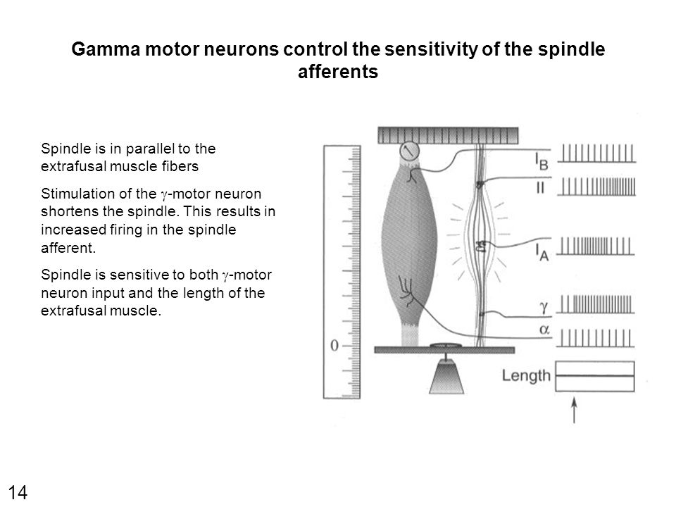 14 Spindle is in parallel to the extrafusal muscle fibers Stimulation of the  -motor neuron shortens the spindle. This results in increased firing in