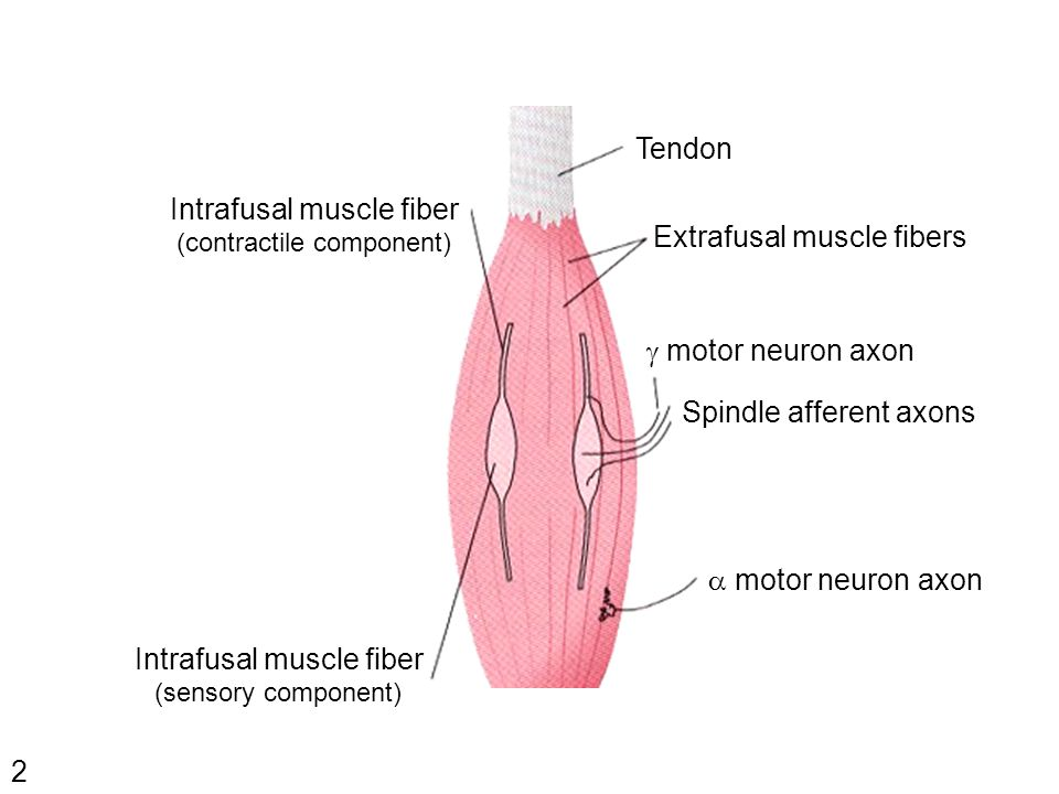 2 Extrafusal muscle fibers Intrafusal muscle fiber (contractile component)  motor neuron axon Spindle afferent axons  motor neuron axon Intrafusal muscle fiber (sensory component) Tendon