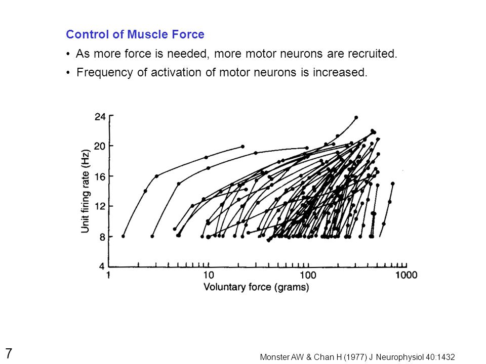 7 Control of Muscle Force As more force is needed, more motor neurons are recruited.